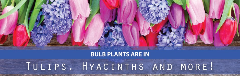 Bulb Plants are In - Tulips, Hyacinths and more!
